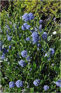 Ceanothus 'Skylark' is a native shrub adapted to drought conditions.