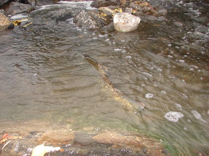 Stream Smart Bear Creek Chinook