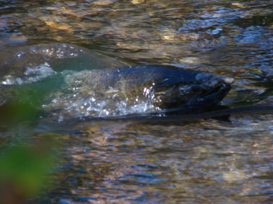 <b>Salmon spawn in local streams and the Rogue River</b>